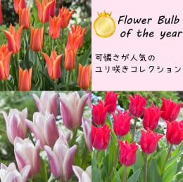 フラワー バルブ オブ ザ イヤー受賞品種ユリ咲きコレクション 30球