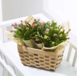 ピンクの花がかわいい♪ デンマークカクタス コンペイトウ 2鉢