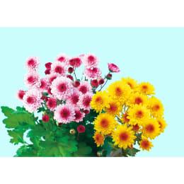 2色植え! 正月用菊 2株植えデュエットマム ベリーアイ&黄金崎