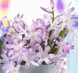 テーブルを飾る小花 チオノドクサ ローズクイーン(桃) 15球