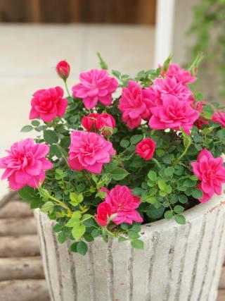 愛らしい発色の良い濃いピンクの小花が、鉢いっぱいに咲きます。 ミニバラ ストロベリージャム 苗1株