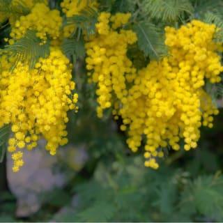 丈夫で成長が楽しめる黄花のアカシア ミモザアカシア(ギンヨウアカシア) 苗1株