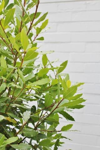 シンボルツリーにおすすめ 月桂樹 苗木