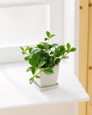 ボリュームのある葉 ペペロミア フォレット 1鉢