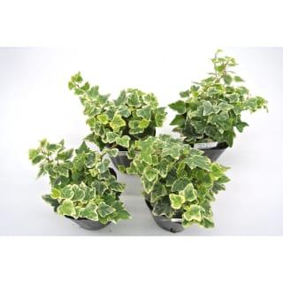 人気あります! 観葉植物 ヘデラ へリックス ホワイトワンダー 3号育成ポット 4ポット
