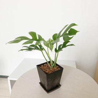杉が香るエコポット付き テーブル置きのヒメモンステラ(バイオマスポット) 1鉢