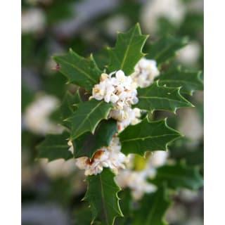 白い小花がカワイイ 香り姫ヒイラギ 苗 2株