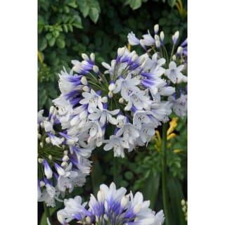 6月から7月に見かける花 アガパンサス ツイスター 2.5号苗 1株