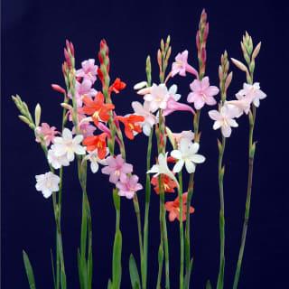 栽培容易で花壇に最適 ワトソニア ドワーフミックス 花色混合20球