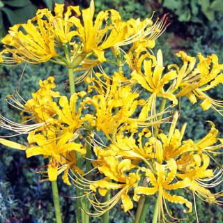 黄色の彼岸花 黄花リコリス オーレア 球根10球