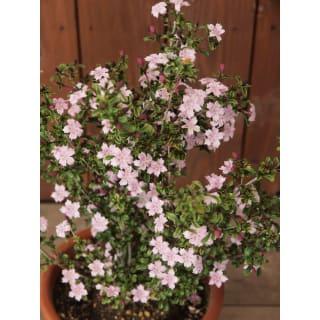 ピンクの小花♪ 紅(こう)チョウゲ 花苗 9cmポット 1株