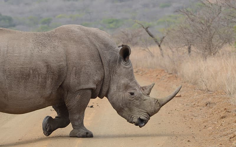 Rhino in Greater Kruger National Park