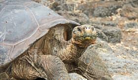 Avalon Waterways giant tortoise Santa Cruz Island Galapagos