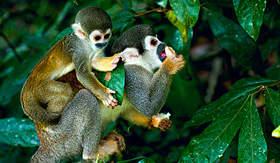 Avalon Waterways squirrel monkey Amazon Rainforest