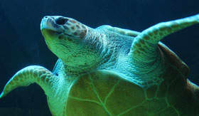 Sea Turtle in Bermuda