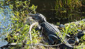 Azamara Club Cruises Alligators in Floridas Everglades National Park