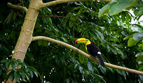 Carnival Cruise Lines Toucan in canopy of the Rainforest of Belize