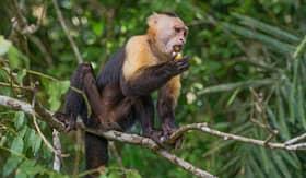 Celebrity Cruises Capuchin Monkey Lake Gatun Panama Canal
