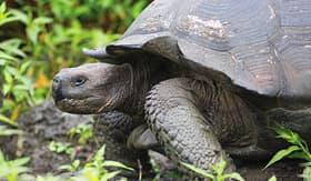 Celebrity Cruises giant Galapagos tortoise