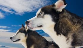 Celebrity Cruises Huskies in Alaska
