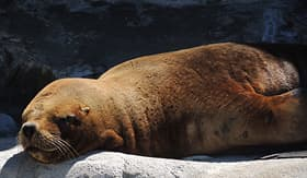 Celebrity Cruises Southern Sea Lion