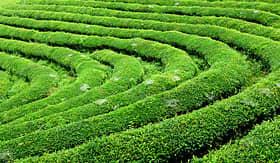 Celebrity Cruises view of a Tea Farm