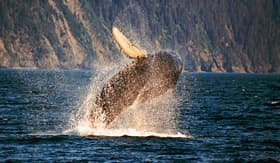 Celebrity Cruises whale breaching in Kenai fjords