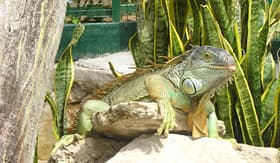 Celebrity Cruises zoo iguana perched on a rock