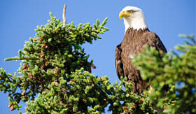 Crystal Cruises Bald Eagle perched in tree in Alaska