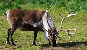 Crystal Cruises reindeer grazing in Alaska