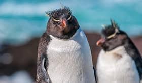 Crystal Cruises two Rockhopper Penguins