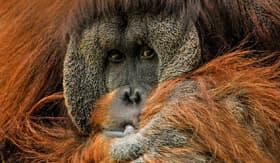 Orangutan - Cunard Line