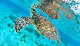 Cunard Line turtle swimming in the crystal clear water