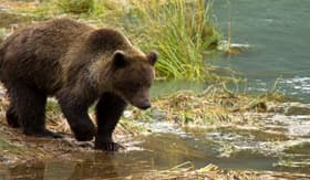 Holland America Line brown bear Haines Alaska