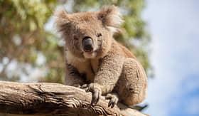 Holland America Line koala sitting on a branch