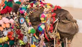 India River Cruises camel at the Pushkar Fair Rajasthan India