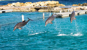 MSC Cruises Dolphins jumping and spinning in the Caribbean Ocean
