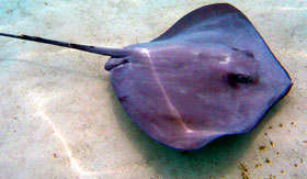 Swim wtih Stingrays in Antigua and Barbuda