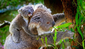 Koala Sanctuary in Australia
