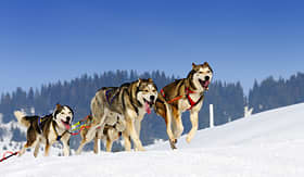 Norwegian Cruise Line sled dogs running through snow