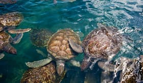 Norwegian Cruise Line turtles in Grand Cayman turtle farm