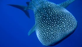 Norwegian Cruise Line whale shark swimming in blue waters off the coast of Maui