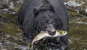Oceania Cruises black bear catching salmon in Wrangell Alaska