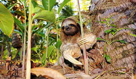 Oceania Cruises three toed sloth on the ground Costa Rica Central America