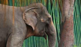 Elephant in Bali, Indonesia