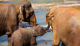 Princess Cruises elephants of Pinnawala Elephant Orphanage bathing in river