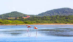 Princess Cruises flamingos walking in the water in Bonaire