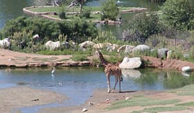Princess Cruises giraffe in wild animal park