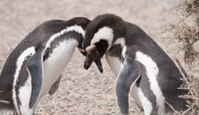 Princess Cruises Magellanic Penguins Chile