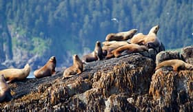 Princess Cruises stellar sea lions resting on a rock in Kenai Fjords National Park